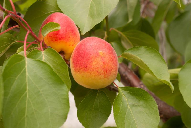 Правила обрезки абрикоса
