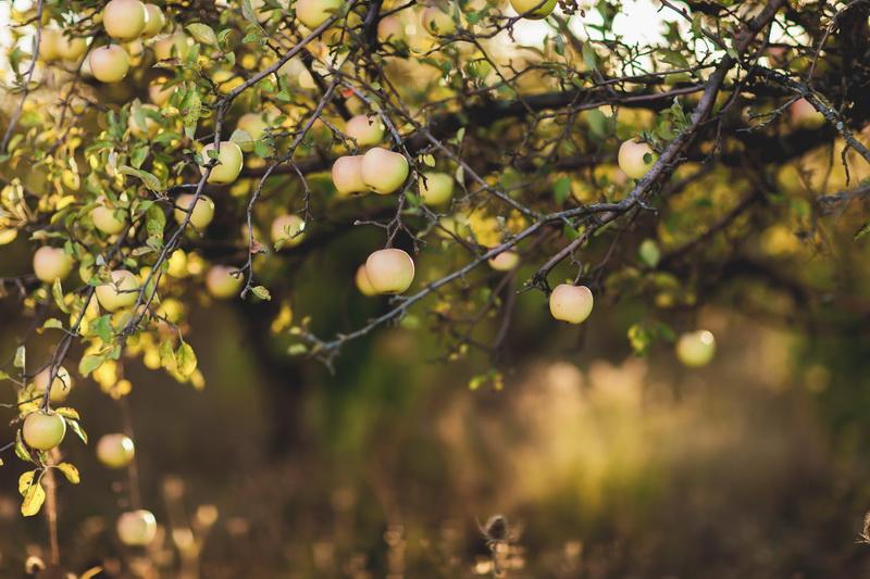 Особенности удобрения яблонь в осенний период