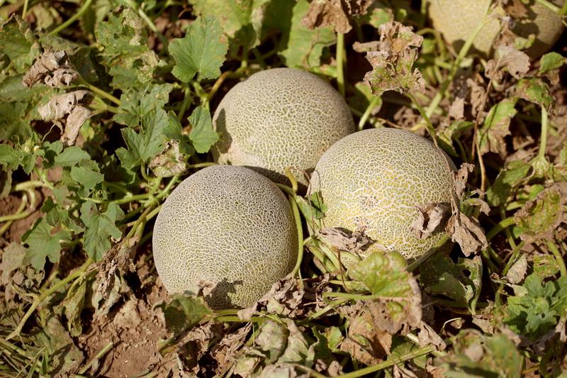 Созревание дыни и как понять, что плод созрел