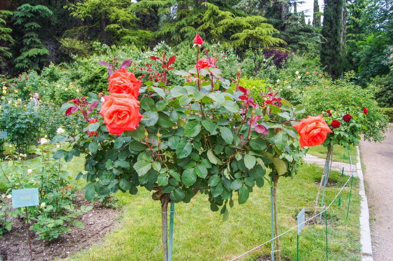 Разновидности штамбовых роз, особенности ухода и выращивания