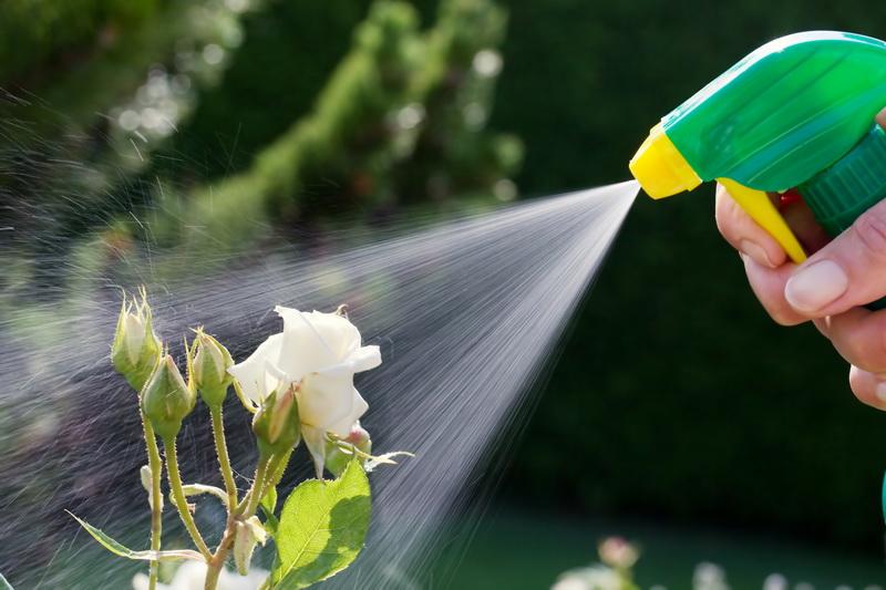 Какие средства помогут защитить садовые розы от болезней и вредителей