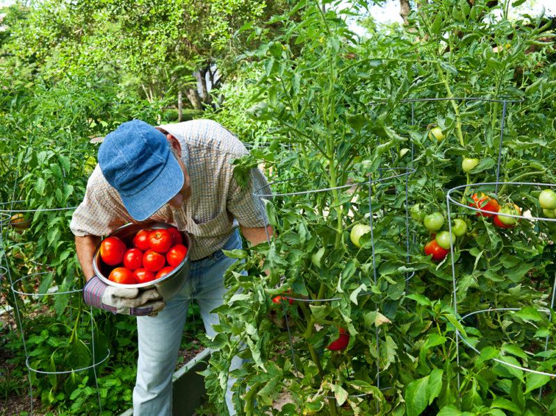 Как ускорить созревание помидоров: эффективные способы и рекомендации