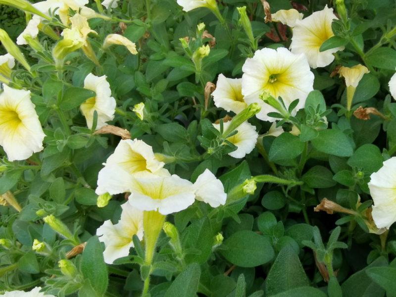 Красавица петуния: обрезка и прищипывание
