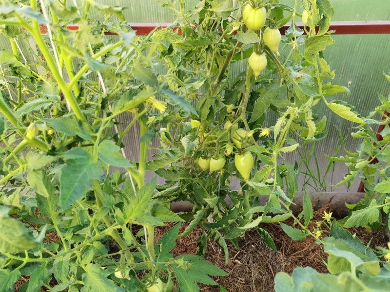 Причины, по которым томаты не краснеют, и способы исправить ситуацию