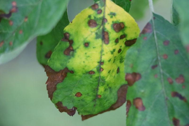 Болезни и вредители лиственных деревьев: признаки появления, способы борьбы