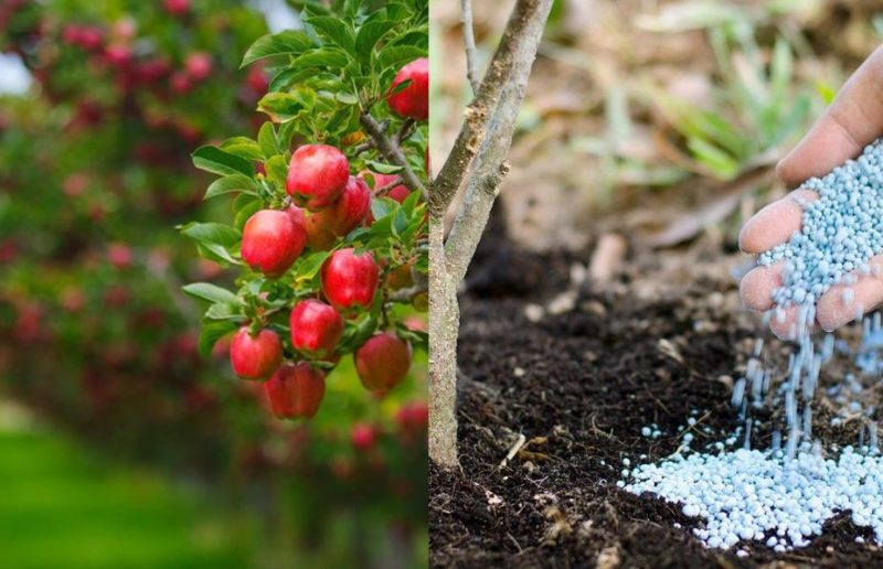 Я готовлю плодовые деревья к зиме именно так. 3 главных шага к удачной зимовке