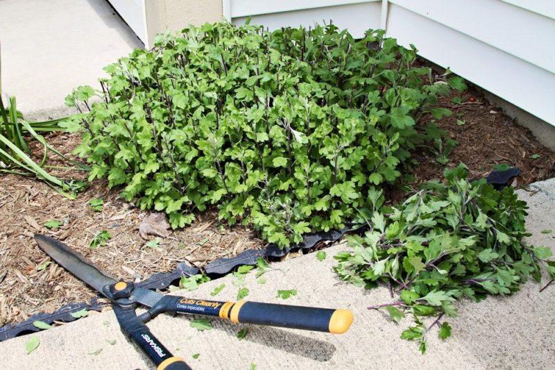 Что я всегда делаю осенью с многолетними хризантемами