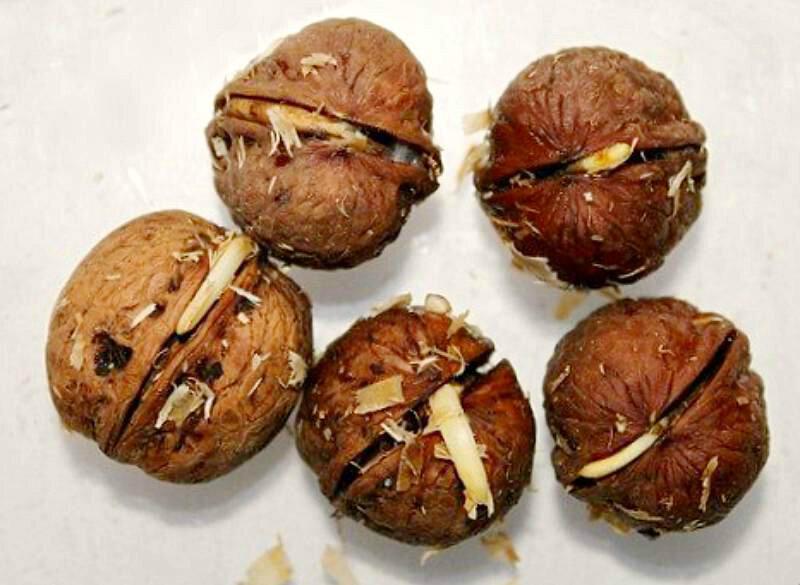 Проращиваем орех дома: правила и условия
