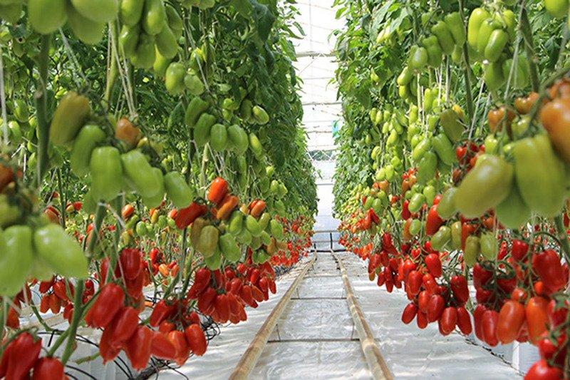 Томат Корнабель F1: характеристики и особенности выращивания