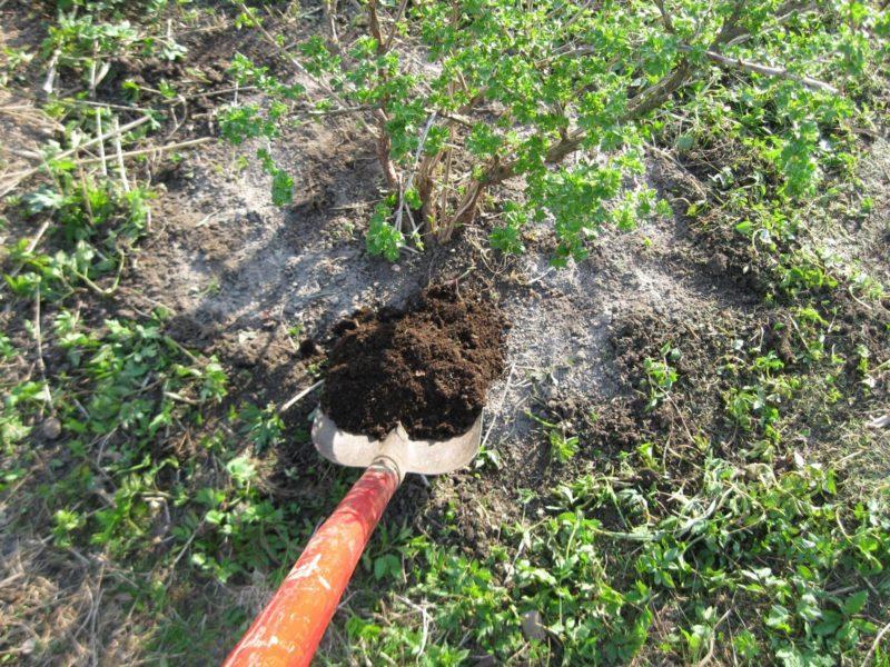 Правильная осенняя подкормка для крыжовника и смородины — знал бы раньше, уже давно собирал бы огромные урожаи