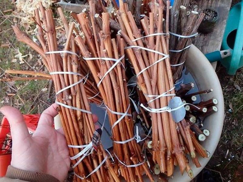 Осенняя заготовка черенков винограда: способы хранения их до весны