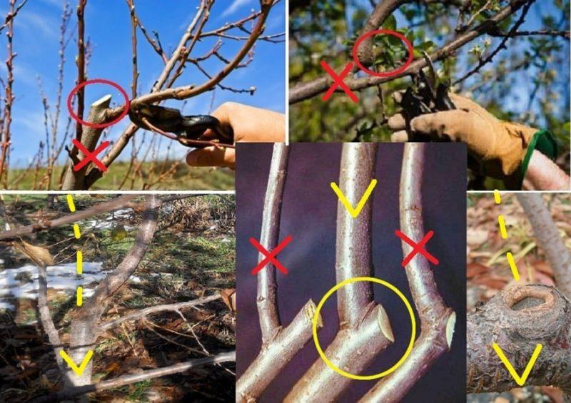 Как обрезать привитое дерево черешни