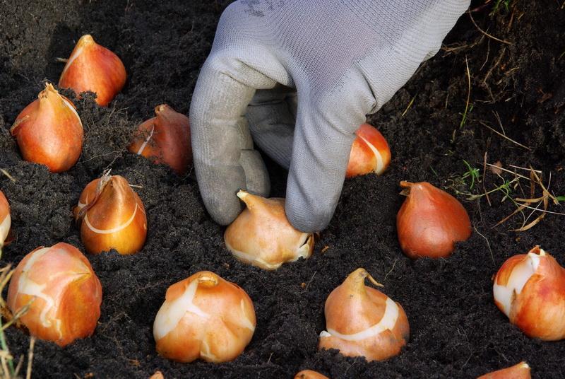 Высаживаем тюльпаны в Ленинградской области и Подмосковье: выбор времени и правила посадки