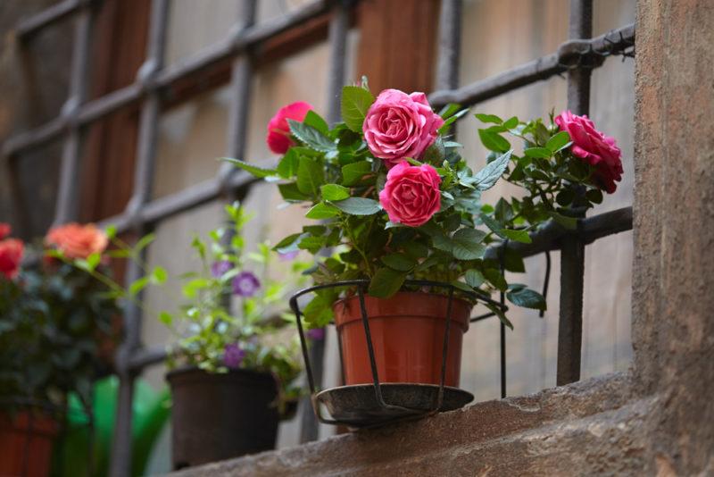 Домашняя роза в горшке — выращивание и уход