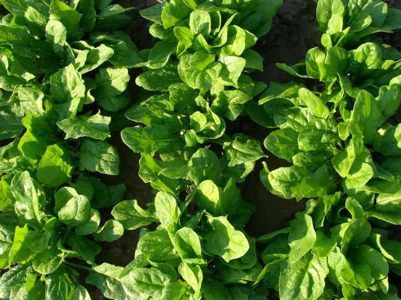 Неприхотливая зелень, которую легко вырастить на подоконнике