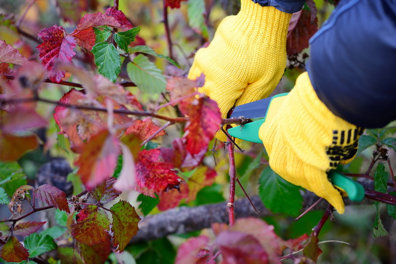 Как правильно обрезать ежевику: тонкости осенних работ для большого урожая в новом сезоне