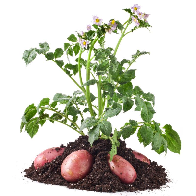Описание раннего сорта картофеля Лабелла