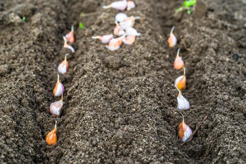Огородные растения, которые советуют высаживать после чеснока, а от каких посадок следует отказаться