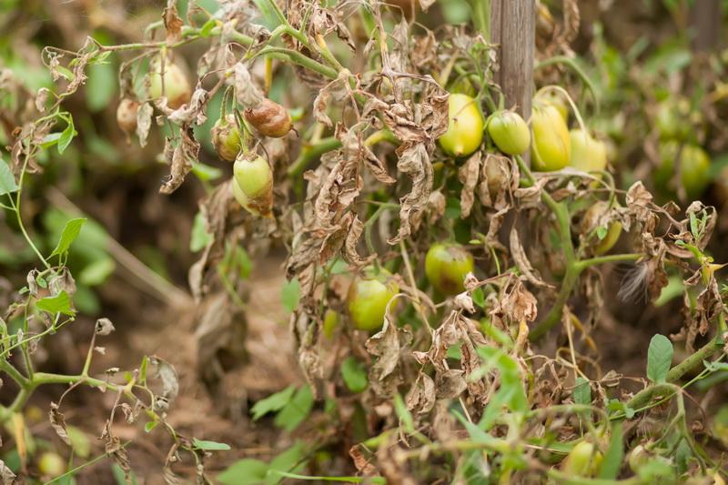 Фитофтора на помидорах: как спасти урожай и защитить посадки