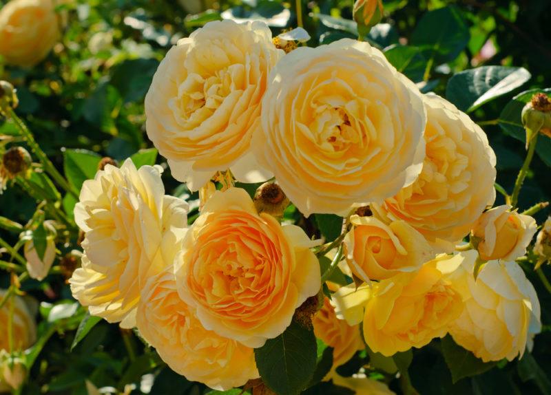 Английские розы, или розы Дэвида Остина