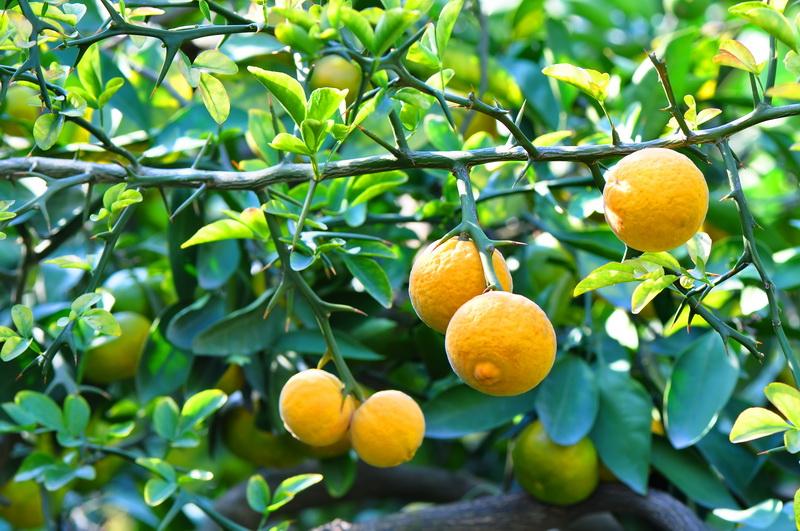 Подкормка лимонов в домашних условиях