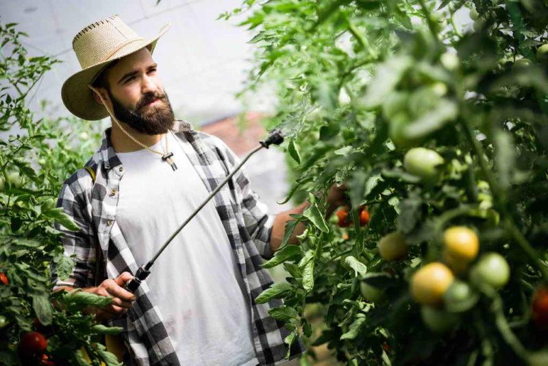 Фузариозное увядание томатов — лечение и профилактика для спасения урожая