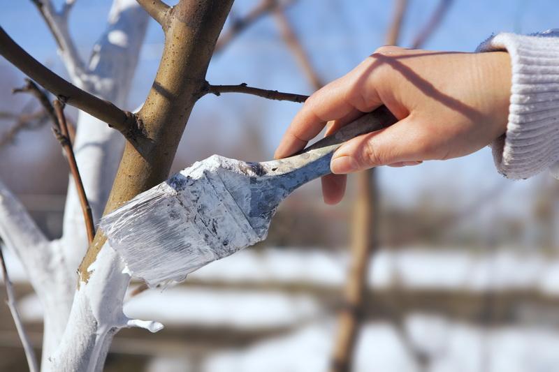 Мои секреты эффективной побелки деревьев осенью: какую побелку выбрать, как правильно подготовить деревья и покрасить их