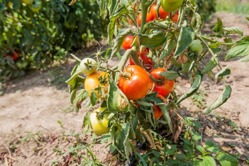 Борная кислота для здоровья «синьора Помидора» — готовим растворы и используем правильно