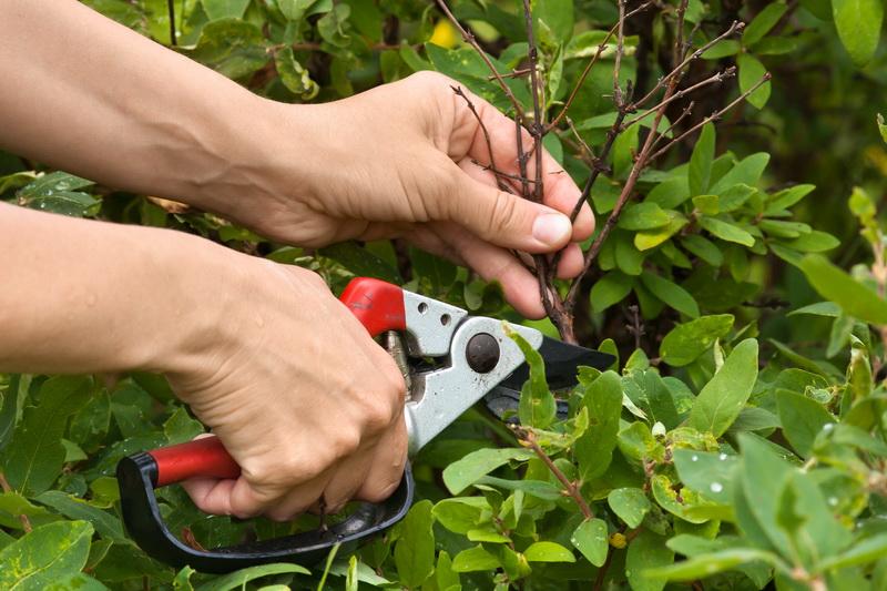 Как я обрезаю жимолость осенью для увеличения урожая