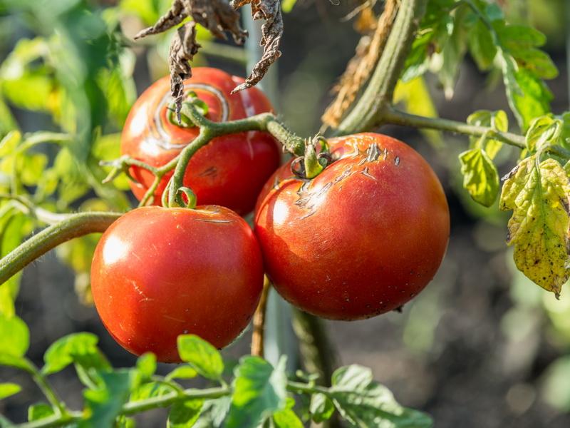 Как избавиться от гусениц на помидорах