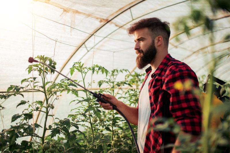 Как ускорить созревание помидоров в теплице: самые эффективные способы