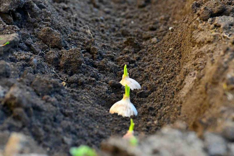 Нюансы выращивания озимого чеснока из семян — моя подробная инструкция