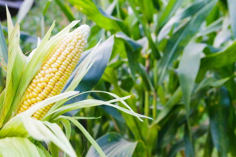 Выбираем сорта кукурузы для попкорна
