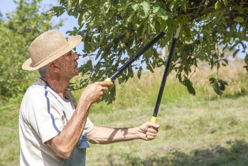 Сохраните свою яблоньку здоровой и невредимой: как правильно осуществлять обрезку