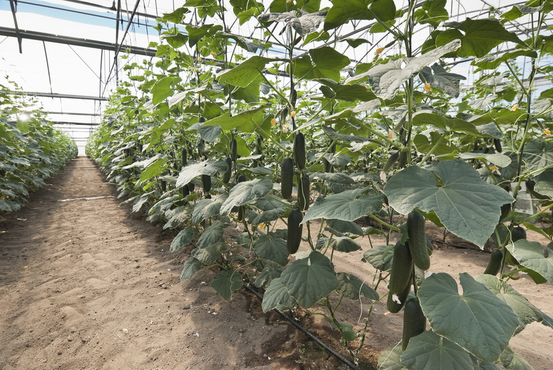 Оптимальная ночная температура для выращивания огурцов в теплице и на открытой грядке