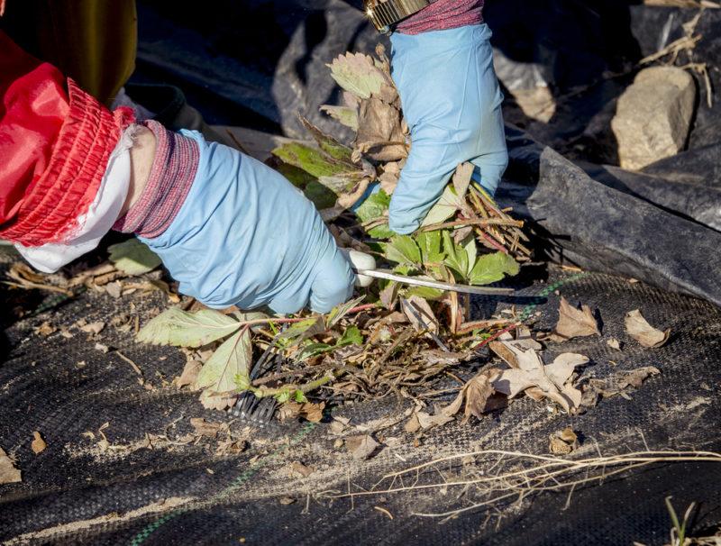 Мой проверенный алгоритм подготовки ремонтантной клубники к зиме — никогда не остаюсь без урожая