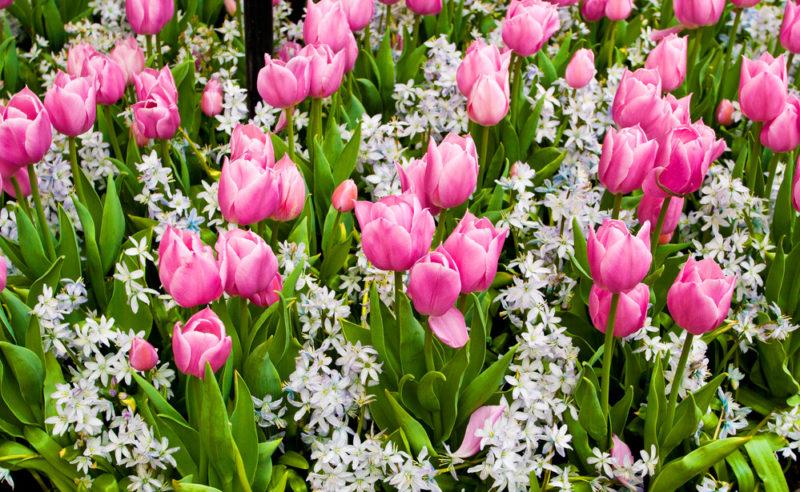 Правила посадки тюльпанов осенью