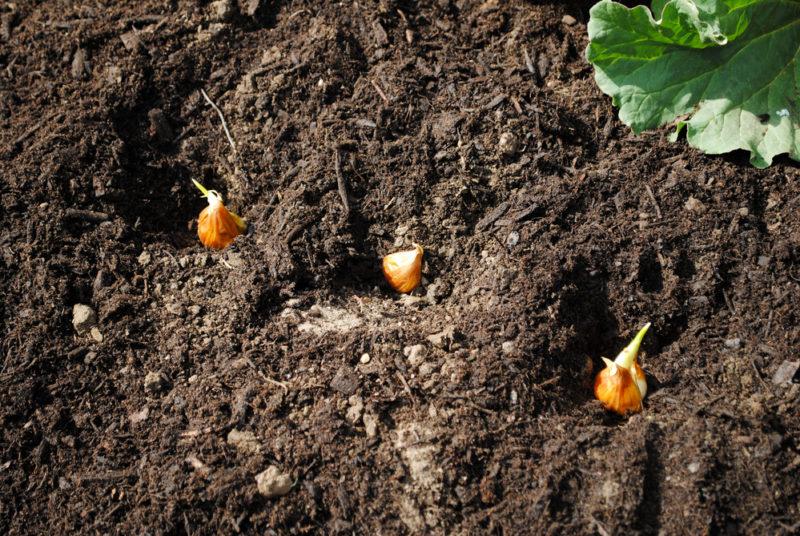 Осенняя рассадка ирисов в саду: советы опытных садоводов
