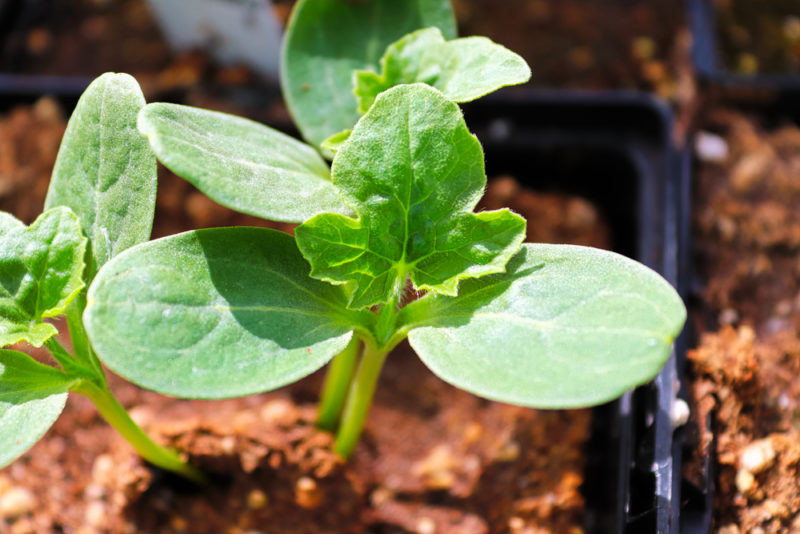 Как вырастить арбузы из семян