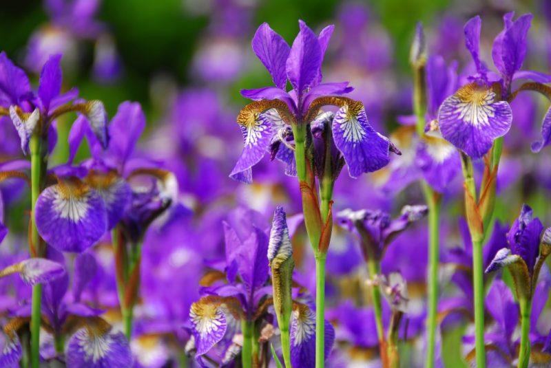Мой грамотный осенний уход за ирисами — всего 3 шага, которые сохранят здоровье ваших цветов