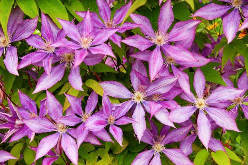 Как я ухаживаю за клематисами осенью, чтобы обеспечить им пышное цветение летом