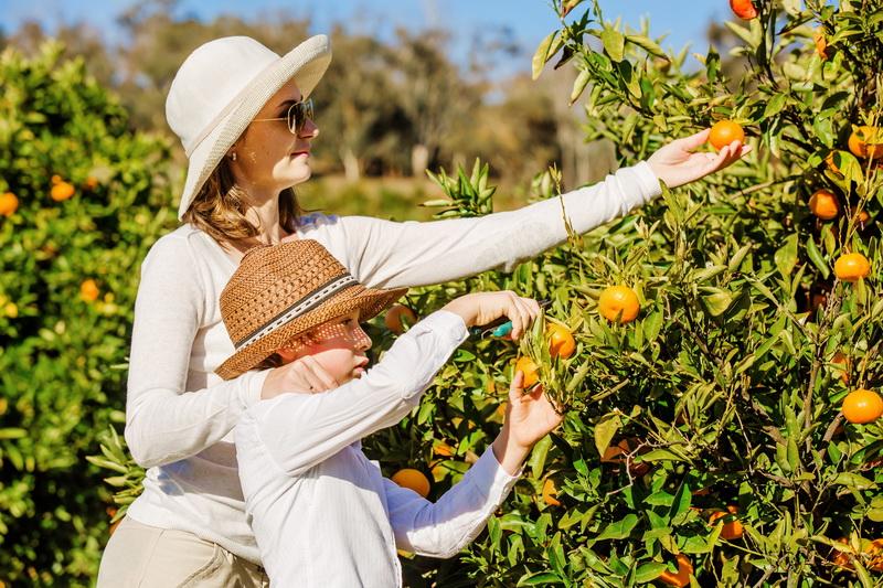Домашняя обрезка мандариновых деревьев: цели и правила
