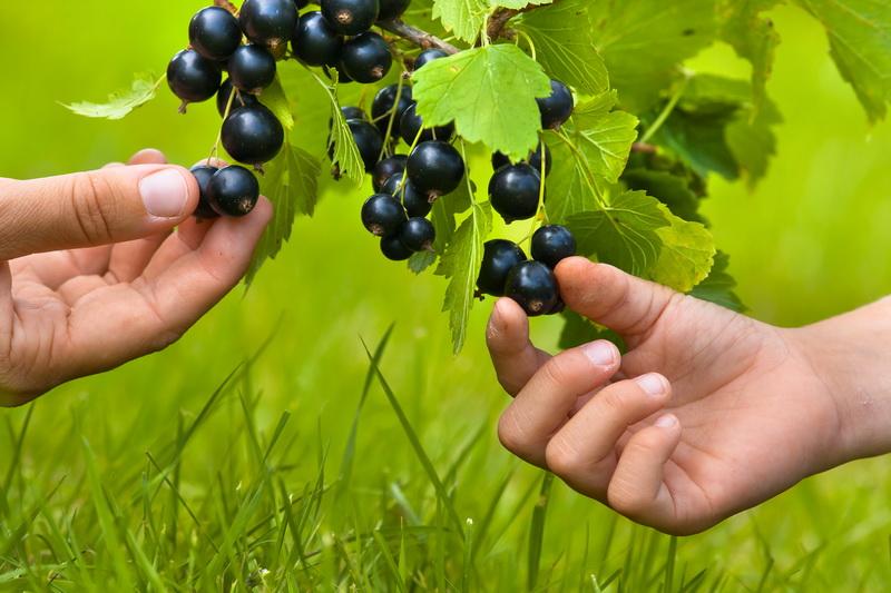 Как продлить жизнь кусту черной смородины и собрать богатый урожай ягод