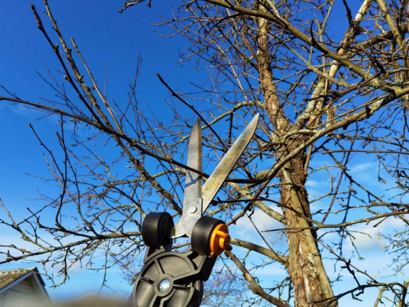 Мои простые секреты осенней обрезки яблонь. Получаю здоровые, красивые деревья и богатый урожай