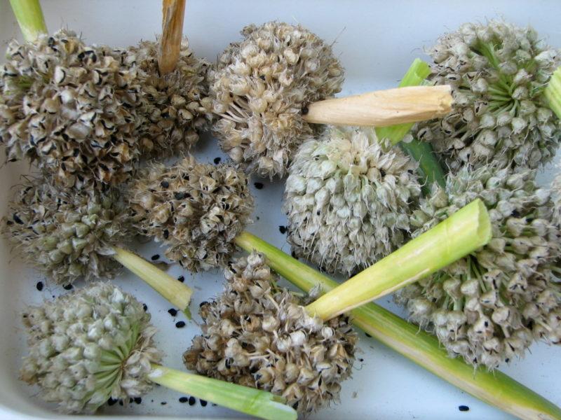 Выращиваем лук-чернушку: правила посева и ухода