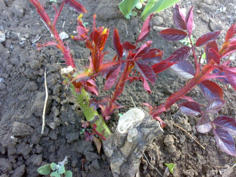 Почему я обязательно занимаюсь прищипыванием базальных побегов роз и как я это делаю