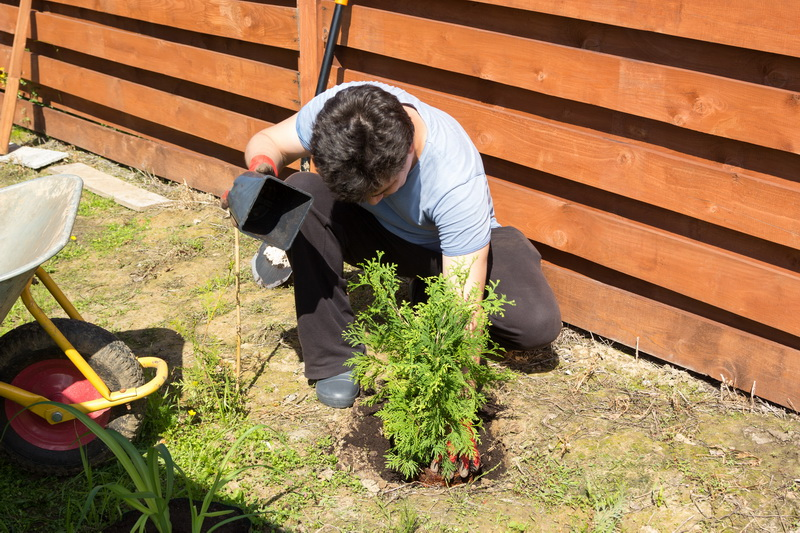 Как я выращиваю тую черенками — получаю прекрасные растения без финансовых затрат