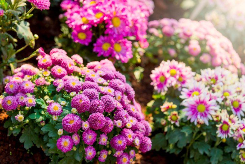 Мои хризантемы всегда прекрасны. И секрет пышного цветения — в правильном осеннем уходе и подготовке их к зиме