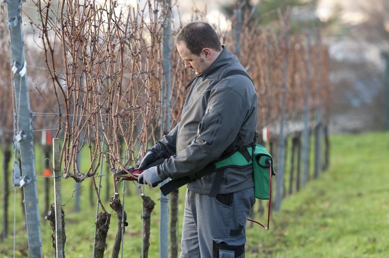 Рассказываю все про сроки обрезки винограда — личный опыт, полученный в собственном винограднике