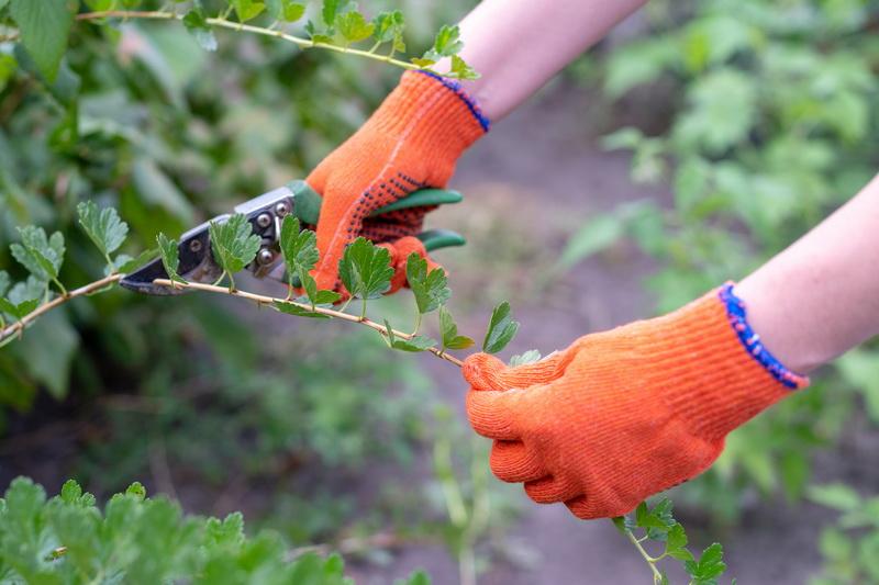 Как я готовлю свои ягодные кустарники к зимовке: осенние процедуры в уходе за смородиной и крыжовником